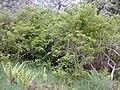 Starr 030419-0021 Rubus hawaiensis.jpg