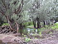 Starr 040323-0028 Casuarina equisetifolia.jpg