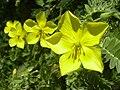 Starr 040331-0241 Tribulus cistoides.jpg