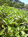 Starr 040405-0229 Myoporum sandwicense.jpg