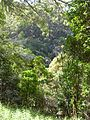 Starr 041113-0644 Cinchona pubescens.jpg
