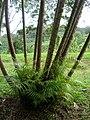 Starr 050107-2882 Chrysalidocarpus lutescens.jpg