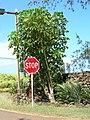 Starr 050516-1248 Schefflera actinophylla.jpg