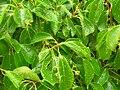 Starr 060429-8044 Cinnamomum camphora.jpg