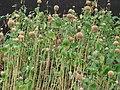 Starr 070221-4729 Leonotis nepetifolia.jpg