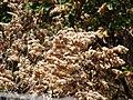 Starr 070321-5966 Flemingia strobilifera.jpg