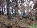 Starr 070908-9119 Pinus sp..jpg