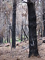 Starr 070908-9175 Pinus sp..jpg