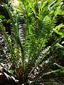 Starr 071024-9732 Dioon spinulosum.jpg