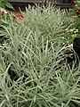Starr 080117-1499 Helichrysum thianschanicum.jpg