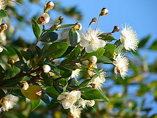 <i>Myrtus</i> genus of plants