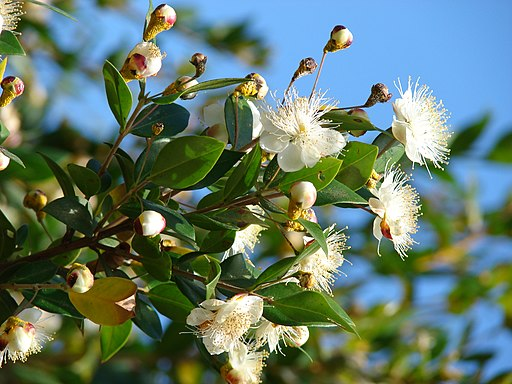 Starr 080304-3229 Myrtus communis per Forest & Kim Starr [CC BY 3.0 (http://creativecommons.org/licenses/by/3.0)], via Wikimedia Commons