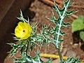 Starr 080415-4030 Argemone mexicana.jpg
