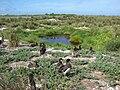 Starr 080605-6461 Ipomoea pes-caprae subsp. brasiliensis.jpg
