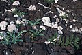 Starr 990120-0156 Argemone glauca.jpg