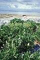 Starr 990614-1005 Lepidium bidentatum var. o-waihiense.jpg
