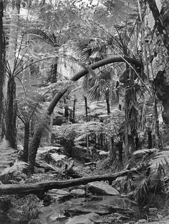 Carnarvon Range - Rainforest in the Carnarvon Range, 1938