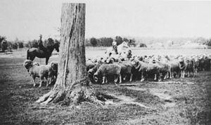 Stockman (Australia) - Sheep mustering at Chermside, ca. 1931