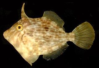 Filefish family of fish (Monacanthidae)