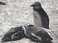Stony Point Penguin Colony - panoramio (19).jpg