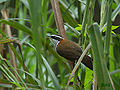 Streak-breasted Scimitar Babbler 1017.jpg