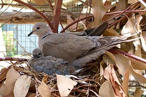 Barbary dove - Image: Streptopelia risoria, broeiend, a, Paarl