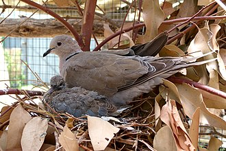 Barbary dove - Image: Streptopelia risoria, broeiend, a, Paarl