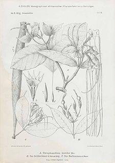 <i>Strophanthus kombe</i> Species of plant