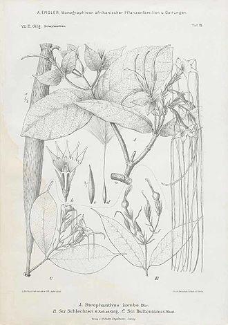 Strophanthus kombe - Image: Strophanthus kombe 00