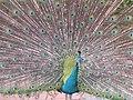 Stupendous peacock display (7856605764).jpg