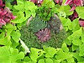 Succulent collection surrounded by Ipomoea batatas (6163954589).jpg