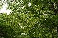 Sugar Maple Leaves (49687288358).jpg