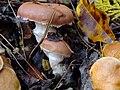 Suillus bovinus & Gomphidius roseus (アミタケとオウギタケ)篠山市盃ヶ岳 DSCF9457.JPG