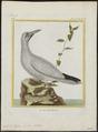 Sula bassana - 1700-1880 - Print - Iconographia Zoologica - Special Collections University of Amsterdam - UBA01 IZ18000037.tif