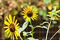 Sunflower (25758053775).jpg
