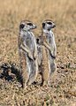 Suricatos (Suricata suricatta), parque nacional Makgadikgadi Pans, Botsuana, 2018-07-30, DD 18.jpg