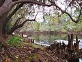 Suwanee River and Cypress (4050249246).jpg