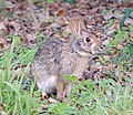 Swamp Rabbit (Sylvilagus aquaticus) cropped.jpg