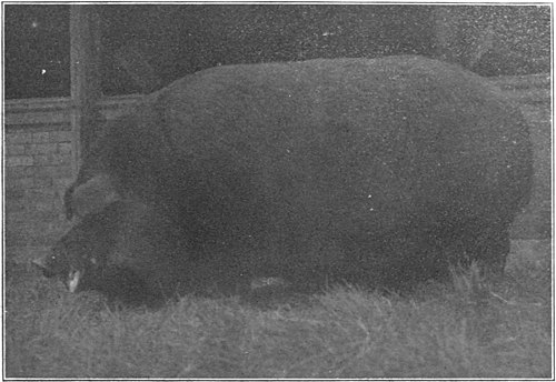 Swine a book for students and farmers - Three-year-old Duroc-Jersey boar.jpg