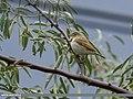 Sykes's Warbler (Iduna rama) (38061066206).jpg
