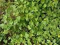 Symphyandra armena 2017-04-17 7493.jpg