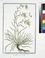 Symphytum Echii folio, angustiore, radice rubra, flore luteo - Sinfito - Consoude (NYPL b14444147-1125062).tiff
