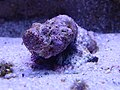 Synanceia sp.001 - Aquarium Finisterrae.JPG