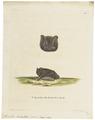 Synotus barbastellus - 1700-1880 - Print - Iconographia Zoologica - Special Collections University of Amsterdam - UBA01 IZ20800099.tif