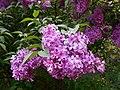 Syringa chinensis Saugeana 2016-05-17 0110.jpg