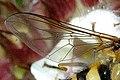 Syrphus.ribesii.wing.detail.jpg