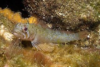Clarkes triplefin species of fish