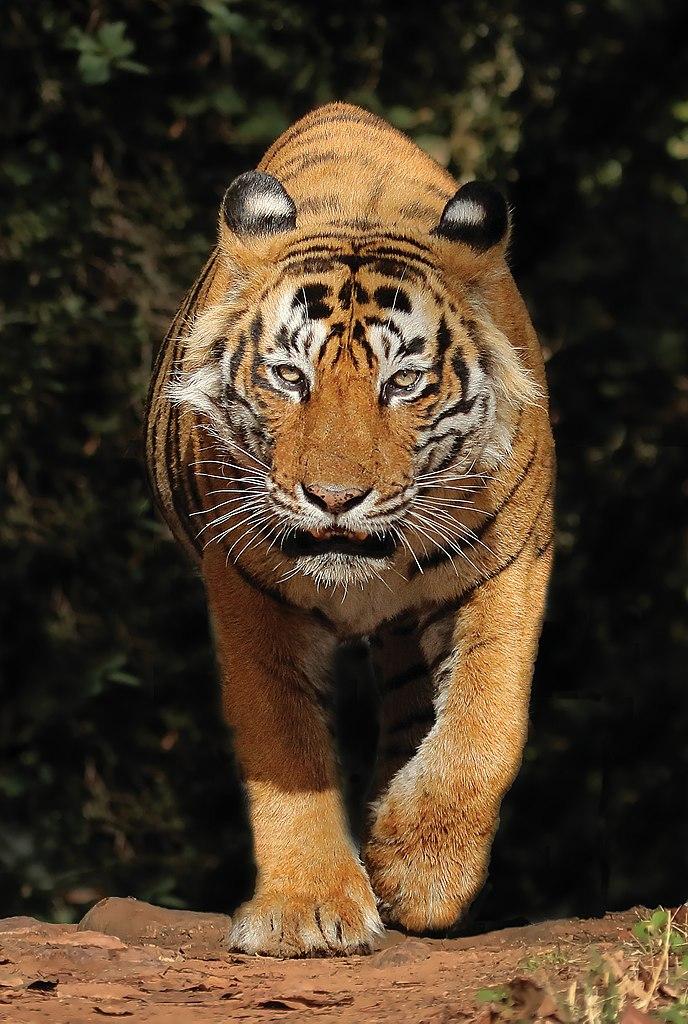 ଫାଇଲ:T24 aka Ustad Tiger.jpg - ଉଇକିପିଡ଼ିଆ