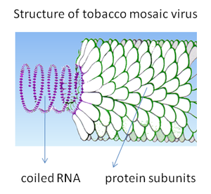 Diagram of the structure of tobacco mosaic virus