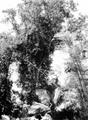 Tabonuco (Dacryodes excelsa), png format.png